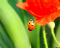 Ladybird ('HD' nature) Tags: desktop wallpaper cloud flower color colour macro green art nature colors field grass closeup clouds forest insect leaf colorful colours image farm sony beetle shade highdefinition vista ladybird hd hay hq soe chandigarh naturesfinest supershot dsch3 sonydsch3 derabassi