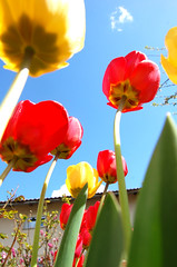 Showy flowers ... (Tja'Sha) Tags: flowers red sky sun nature yellow spring amazingcolor