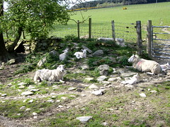 Sheep relaxing in the shade (Jeannie.H) Tags: sheep baa