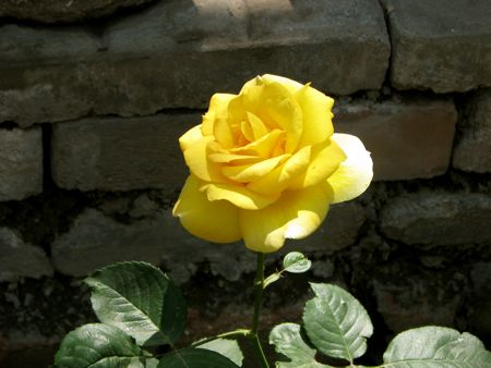 Beijing Yellow Rose