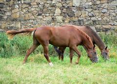 Pferde fr Stephie 2a/3 (AnnAbulf) Tags: pferde cavalli cavallo pferd niedersachsen hameln bassasassonia hmelschenburg