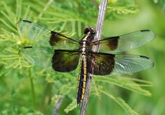 DSZ_01274a (jerryoldenettel) Tags: insect dragonfly ks widowskimmer skimmer libellula 3008 libellulaluctuosa