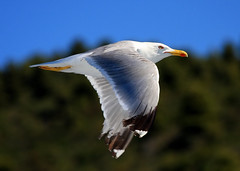 seagull...Mount athos,greece (Dimtze) Tags: blue light sea nature canon flickr seagull aegean hellas mount explore greece soe athos watcher chalkidiki ellada halkidiki flickrsbest 40d flickraward diamondclassphotographer flickriver natureselegantshots
