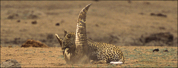 ealeopard118d