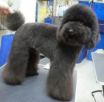 poodle hair style