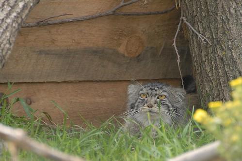 Pallas' Cat (Otocolobus manul)