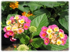 Lantana camara (Shrub Verbena, Red/Yellow/Wild Sage) with multi-colored flowers