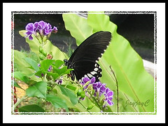 A very quick snap of the Common Mormon (Papilio polytes), a male butterfly
