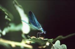 Caballito del Diablo (Susonauta) Tags: iso200 slide asturias fujifilm zenit diapositiva sensia insecto colorslide diapo  caballitodeldiablo zenit11 cangasdelnarcea