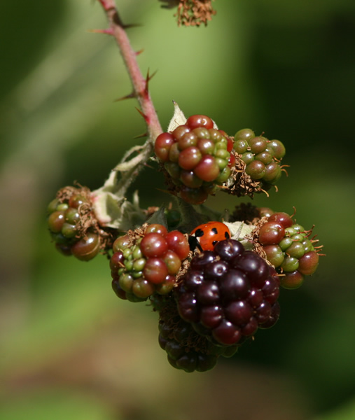 Blackberries and Ladybird