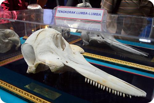 dolphin skull