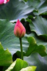 lotus/蓮