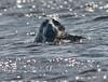nom nom nom (eva8*) Tags: fish water river wildlife seal lookatme kennebec greyseal 14extender interestingness6 200mm28