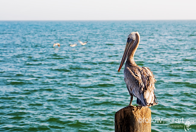 Pelican with perspective