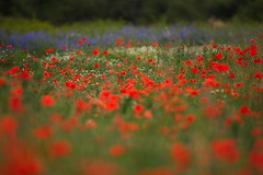 Stay Here With Me (Ian Hayhurst) Tags: red field dof meadow poppy poppies shallow wildflower canonef200mmf28liiusm herbiseed