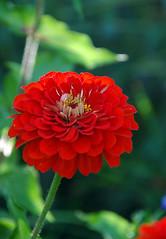 Denver Botanical Garden 725 DS (G&DStewart) Tags: flowers red plant flower nature garden landscape colorado denver zinnia denverbotanicalgarden