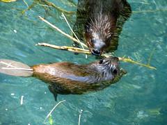 mama beaver teaching baby beaver to build
