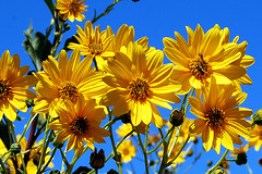 Patacas (Helianthus Tuberosus) (pepebarambio) Tags: flores soe millefiori iloveit patacas bej mywinners abigfave theperfectphotographer wonderfulworldofflowers awesomeblossoms 100commentgroup heliantustuberosus 5abovestream greatshotss