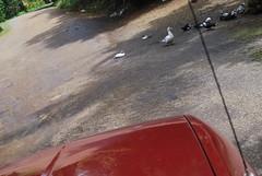 Duck Crossing (thecorpo) Tags: gardenofeden ducks maui hana