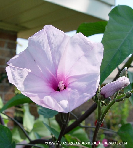 Morning Glory Tree