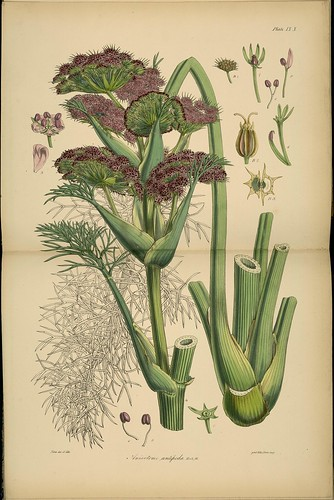 19th century Antarctica botany: Anisotome antipoda species