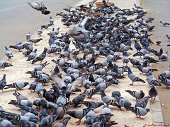 Feral Rock Pigeon (Count them for me) (Photo Plus 1 (Kamran Ahmed)) Tags: pigeon supershot