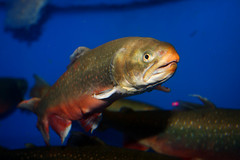 fish swimming tank fishie arcticchar