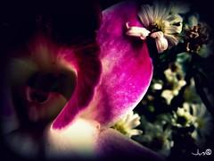 tongue (Jus.) Tags: flowers sun photography blackwhite aperture focus clones zippers rosses happyflowers artofphotography