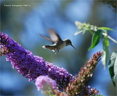Female Hummingbird (0694) (Photography Through Tania's Eyes) Tags: canada bird animal photo nikon photographer hummingbird bc britishcolumbia okanagan wildlife gorgeous feathers picture photograph summerland capture tania naturesfinest wingedwonders takeitoutside copyrightimages theperfectphotographer taniasimpson