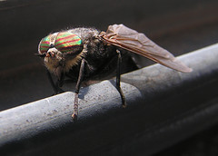 Family: Tabanidae (Horse Fly) (Arthur Chapman) Tags: insects caucasus flies horsefly diptera insecta tabanidae republicofgeorgia taxonomy:class=insecta taxonomy:order=diptera geo:country=georgia taxonomy:common=horsefly taxonomy:family=tabanidae geocode:accuracy=2000meters geocode:method=googleearth