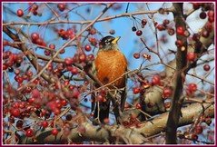 Merle D'Amrique - American Robin (Robert Benoit (Bob Tour)) Tags: wood trees canada color tree bird fall nature birds interesting nikon quebec wildlife most soe serenitynow naturesfinest awesomeshot blueribbonwinner otw d80 specanimal golddragon abigfave nikond80 anawesomeshot ultimateshot diamondclassphotographer amazingamateur theunforgettablepictures eliteimages goldstaraward multimegashot naturethroughthelens fantasticwildlife vosplusbellesphotos jediphotographer thewonderfulworldofbirds mallmixstaraward dragondaggerphoto robertbenoitphotographie