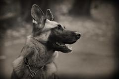 Amazing Grace (dancingshiba) Tags: dog sepia outside bokeh shelter germanshepherd adopted gsd explored thelittledoglaughed