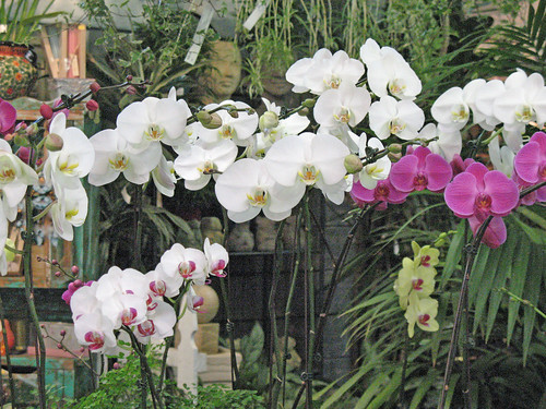orchids indoor plants gifts white yellow purple