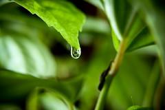 چشمهایم نشد از گریه سبک بار هنوز (Mehrad.HM) Tags: macro green water leaf drop glob goblet سبز مادر mehrad قطره برگ ماکرو