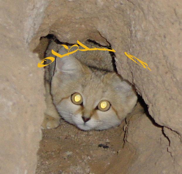 صورة لتفه أو القط البري النادر الأرشيف Qatar Photo