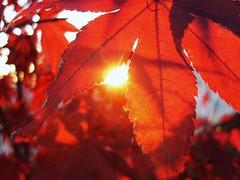 Giocando a nascondino col sole... (Fabrette) Tags: sunset red sun macro tree nature leaves foglie tramonto natura sole albero rosso redleaves acero supershot foglierosse macromarvels veterinarifotografi