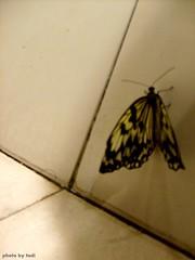 butterfly (tadikatakura) Tags: butterfly smx mallofasia