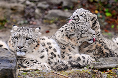 Licking session (Tambako the Jaguar) Tags: wild cute cat mom zoo cub schweiz switzerland big nikon feline dad father zurich young mother kitty fluffy son together bigcat zrich wildcat lying licking snowleopard villy felid d300 djamila panthera schneeleopard snowkitty uncia loparddesneiges panthredesneiges dshamilja vosplusbellesphotos