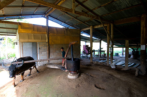 Using a buffalo to press sesame oil, Pang Muu, Mae Hong Son, Thailand