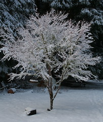 Winter Coat (jkeenan501) Tags: winter coral oregon maple coat wintercoat inoregon coralmaple oforegon