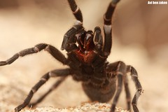 Chaetopelma olivaceum (avibenzaken) Tags: spider crazy tarantula huge mad arthropod theraphosidae araneae isral aranya spinnekop      olivaceum  chaetopelma iosrael damhanallaidh solifuga  tt