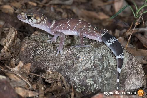 Thick-tailed gecko (Underwoodisaurus milii)
