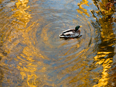 Autumn reflection and a duck (Paco CT) Tags: reflection water animal yellow duck agua amarillo pato reflejo 2008 rupit ltytr1 pacoct
