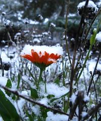 Golden Cup (cbcheri) Tags: snow flower blackeyedsusan