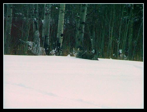 Grand Tetons December 2008 Coyote
