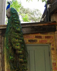 Am I Not Beautiful? (syam C) Tags: roof bird nature tail bricks australia peacock victoria artistcommunity eltham montsalvat blueribbonwinner supershot canona710