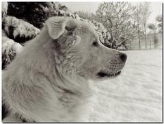 Un Freddo Cane (VeryBadGuy) Tags: italy dog snow cold cane italia neve freddo abruzzese maremano gussago