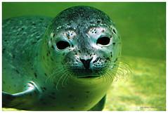 Look into my eyes ... can I lie? (julchen80) Tags: sea station germany deutschland nikon europa europe d70 north norden seal seals norddeich nordsee seehund seehunde seehundstation