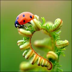 Dead end path. (glemoigne) Tags: macro brittany ngc bretagne breizh ladybird ladybug insecte coccinelle bzh marienkfer finistre logonna wow5 penarbed frameit logonnadaoulas wonderfulworldofmacro bestcapturesaoi glemoigne mygearandmeplatinum mygearandmediamond blinkagain gilbertlemoigne flickrstruereflection7 flickrstruereflectionexcellence 7timesasnice artistoftheyearlevel7 flickrsfinestimages1 flickrsfinestimages2 flickrsfinestimages3 magicmomentsinyourlifelevel2 magicmomentsinyourlifelevel1 unlimitedinsectslevel1 unlimitedinsectslevel2 unlimitedinsectslevel3 unlimitedinsectslevel4 unlimitedinsectslevel5 unlimitedinsectslevel6 unlimitedinsectslevel7 unlimitedinsectslevel8gold vigilantphotographersunite vpu2 vpu3 vpu4 vpu8 vpu9 vpu10 frameitlevel3 frameitlevel2 frameitlevel4 frameitlevel5 frameitlevel6 frameitlevel7 frameitlevel8 frameitlevel9 frameitlevel10