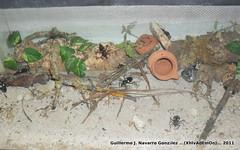 Platymeris (Guillermo J. Navarro (XhIvAdEmOn)) Tags: insects terrarium phasmids terrariums peruphasma schultei platymeris sungaya inexpectata xhivademon shivademon peruphama
